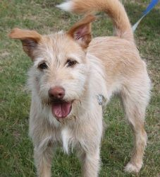 Snoop is an adoptable Wirehaired Terrier Dog in Portsmouth, RI. Say hi to Snoop!!  What a handsome guy he is.  Snoop is a Schanuzer/Wirery Terrier mix, about 1 year old and weighs 50 pounds.  Snoop is...