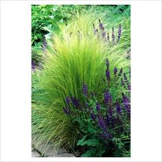Stipa tenuissima with Salvia x sylvestris'Mainacht' (syn. S. 'May Night')