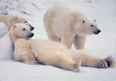 Fond d'écran Ours polaire - On se relaxe ... (Fonds d'écran sur les animaux sauvages)