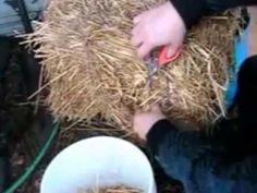 Pleurotus ostreatus como hacer micelio de girgola en cafe usado www.girgolas.com.ar