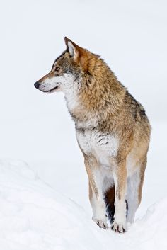 A captive female Eurasian Wolf (Canis lupus) in the Bavarian Forest National Park, Germany. Captive wolves are similar to their wild cousins in that they are constantly alert and in-tune with their environment.