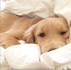 Golden snuggles