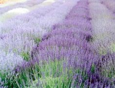 lavender fields always remind me of my grandparents & summer day trips out to the Norfolk Lavender fields for afternoon tea. It's by far one of my favourite & most comforting smells.