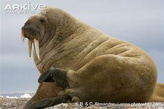 Walrus videos, photos and facts - Odobenus rosmarus - ARKive