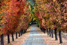 Bold color and very upright habit make Liquidambar varieties one of the best for lining a driveway in mild climates. (SHNS photo courtesy Ma...