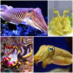 Cal Poly BIO 502: Cuddle up next to a Cuttlefish....or is that a rock?