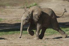 Cría de elefante