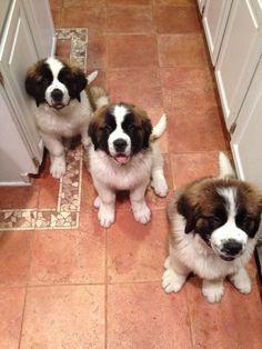 Lola, Geneva and Loki :) St. Bernard puppies - 2 months old Cute Puppies, Cute Dogs, Dogs And Puppies, Doggies, Animals And Pets, Baby Animals, Cute Animals, Big Dogs, I Love Dogs