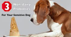 The canine digestive tract is comparable to the functioning of a dog's immune system, keeping intestines stocked with probiotic bacteria is essential to a dog's lifelong health!
