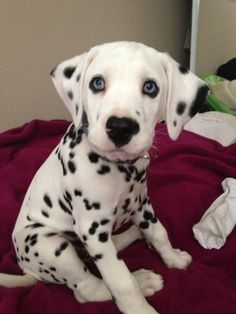This gorgeous dal puppy has a heart shaped nose!