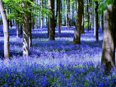 Bluebells, Coton Manor Gardens, Northhamptonshire, England ancestors lived in Olney