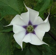 Datura---fragrant , yet toxic.