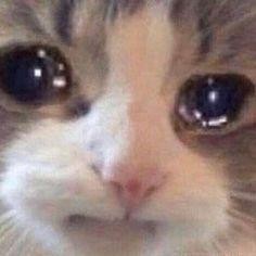 Imma start making distorted cats. Sad Cat Meme, Cute Cat Memes, Cute Animal Memes, Cute Love Memes, Cute Funny Animals, Cute Baby Animals, Cute Cats, Funny Cats, Tiers Monde