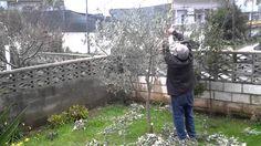 La poda del olivo Olive Tree, Vegetable Garden