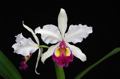 Cattleya Hardyana FMB | Cattleya Hardyana Semi-alba | Flickr - Photo Sharing!