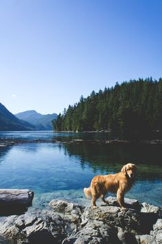 My golden retriever used to go camping with us. I miss that loving spirit and those bouncy ears <3