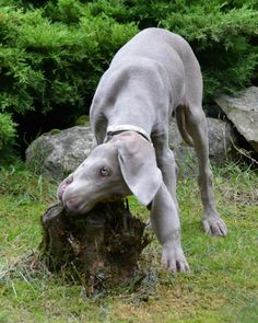 """""""Excuse me, I'm just gonna eat this tree stump. No worries, It's a Weim thing :) Oh, and do you have any rocks or cement?"""""""