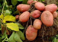 How to grow potatoes at home