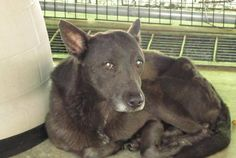 Lab/Shepard Mix, 4 year old stray female,  Lee County Animal Services, Sanford, NC 27330 , Phone: (919)-776-7446
