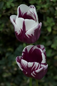 Tulips: Tulipa 'Rem's Favorite' is not a broken tulip; it dates only to 2000, and its striations are the result of a cross between 'Hans Anrud' and T. 'Bestraald.' 'Rem's Favorite' ships in the fall from Brent and Becky's Bulbs.   via remodelista.com   #Tulips #Gardening #GardenPlants