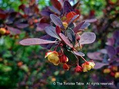 barberry latin - Google Search