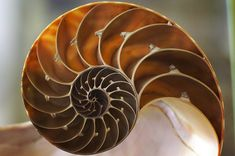 Fractal Patterns and Golden Ratio Pulses Discovered in the Stars Fibonacci Golden Ratio, Fibonacci Spiral, Fibonacci Sequence In Nature, Fractals In Nature, Spiral Tattoos, Divine Proportion, Shell Tattoos, Nautilus Shell, Fractal Patterns