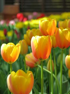 Tulips Garden, Daffodils, Planting Flowers, Exotic Flowers, Pretty Flowers, Floral Flowers, Flower Drawing Images, Flower Images, Spring Blooms