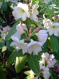Wishlist: Rhododendron 'May Moonlight'  Still ranks today among the most fragrant varieties.