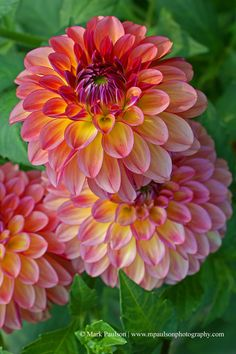 ~~Evening Dahlia Blooms by Mark Paulson Photography~~