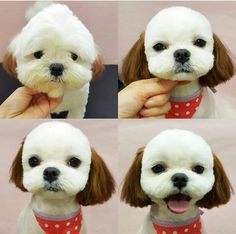 Shih Tzu, Affectionate and Playful. Dog Grooming Styles, Dog Grooming Salons, Puppy Grooming, Dog Grooming Business, Homemade Dog Toothpaste, Canis, Puppies And Kitties, Shitzu Puppies, Creative Grooming