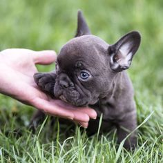 6,256 vind-ik-leuks, 66 reacties - French Bulldog Love (@frenchbulldog.love) op Instagram: 'For sale: CHARLIE ❤❤❤ Micro tri choco boy with blue eyes. One of a kind in the world 🌍🌍🌍 ℹ…'