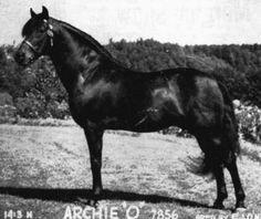 Archie O, uno de los sementales sobre los que se fundó la raza American Morgan Horse