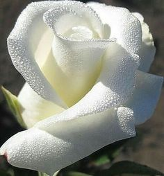 My grandpa Had the most amazing white rose bush in front of street. I want to bring it back to the front of that house. Beautiful Rose Flowers, Exotic Flowers, Amazing Flowers, My Flower, White Flowers, Beautiful Flowers, Beautiful Beach, Simply Beautiful, Rosa Rose