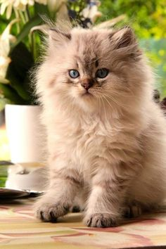 Cute pets - Baby Cats - so adorable Fluffy Kittens, Kittens And Puppies, Cute Cats And Kittens, Baby Cats, Kittens Cutest, Fluffy Cat, Pretty Cats, Beautiful Cats, Animals Beautiful