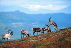 Rentiere im Gebirge Norwegens - den Tieren, die in großen Herden vor allem in Mittel- und Nordnorwegen unterwegs sind, kann man im Rahmen einer Safari oder einer Schlittentour übrigens auch näherkommen. Und wer noch mehr sehen will, für den gibt es sogar Rentier-Schlittentouren mit Nordlicht-Beobachtung!! :) Hier: http://booking.visittromso.no/en/todo?filter=c=29556 Foto: Asgeir Helgestad/Artic Light AS