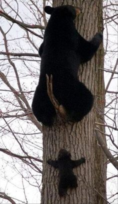 Baby bear climbing a tree....wait for me.