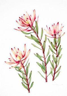 watercolor paintings of australian flowers Protea Art, Australian Wildflowers, Australian Native Flowers, Australian Plants, Watercolor Plants, Floral Watercolor, Watercolor Paintings, Flower Paintings, Watercolor Tattoo
