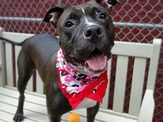 TO BE DESTROYED 9/12/14 Manhattan Center -P  My name is MARLEY. My Animal ID # is A1013336. I am a spayed female black and white pit bull mix. The shelter thinks I am about 2 YEARS  I came in the shelter as a OWNER SUR on 09/07/2014 from NY 10468, owner surrender reason stated was MOVE2PRIVA.https://m.facebook.com/photo.php?fbid=868960873116793&id=152876678058553&set=a.611290788883804.1073741851.152876678058553&source=49&ref=bookmark