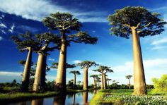 Stroll Through the Avenue of the Baobabs in Madagascar