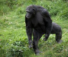 #Chimpanzee