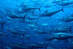 bluefin tuna ocean