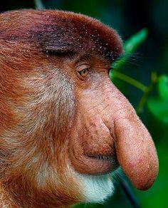 Proboscis Monkey... HAHAHAHA