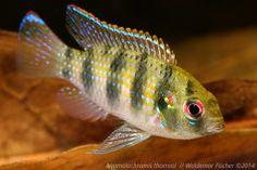 Biotop-Aquaristik Westafrika: Anomalochromis thomasi, Afrikanischer Schmetterlin...