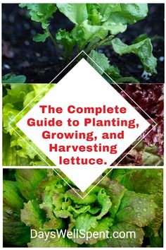 Learn how to grow lettuce from seed, how to care for it, and how to harvest your own fresh lettuce from your vegetable garden. #urbanhomestead #growinglettuce Beginners Gardening, Vegetable Garden For Beginners, Backyard Vegetable Gardens, Grow Lettuce, Easy Garden, Garden Tips, Diy Chicken Toys, How To Harvest Lettuce