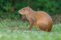 agouti | Agouti Page Rodents, Costa Rica, Mammals