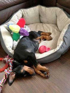15 Utterly Ridiculous Looking Dozing Dobermans Sleeping napping Doberman Pinchers BowWow Times