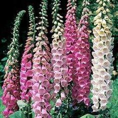 Foxglove (genus Digitalis), the common name of hardy biennial or perennial flowering herb.