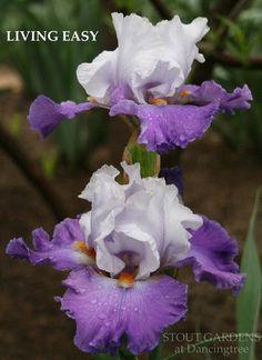 Iris LIVING EASY | Stout Gardens at Dancingtree