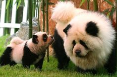 Chow Chow dogs that normally have golden fur are being dyed white and black to resemble fluffy pandas. Description from proudtobeapoppa.blogspot.com. I searched for this on bing.com/images