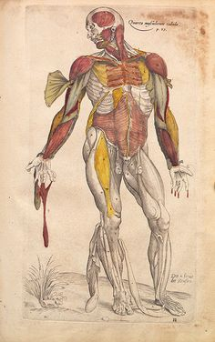 Anatomical drawings of Vesalius  Andreas Vesalius  (1514 - 1564) was a Flemish anatomist and author of one of the most influential books on human anatomy,